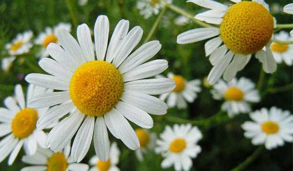 Daisy - Home Remedies for Rosacea