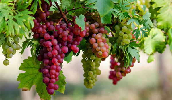 Grape - How to Get Rid of Crow's Feet