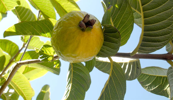Guava Leaves - How to Get Stronger Teeth and Gums