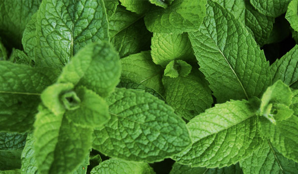 Peppermint - Home Remedies for Cold Sores