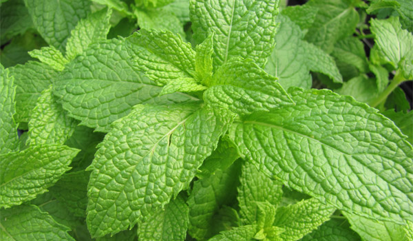 Mint - Home Remedies for Heat Rash