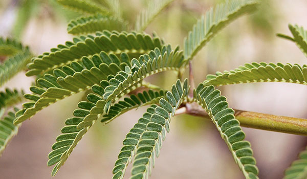Acacia Leaves - Home Remedies for Eyelid Cysts