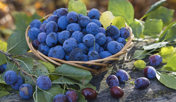 Blueberry - Home Remedies for Anxiety
