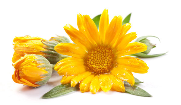 Calendula 1 - Home Remedies for Hangnails