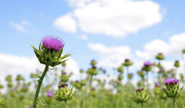 Milk Thistle - Home Remedies for Gallstones