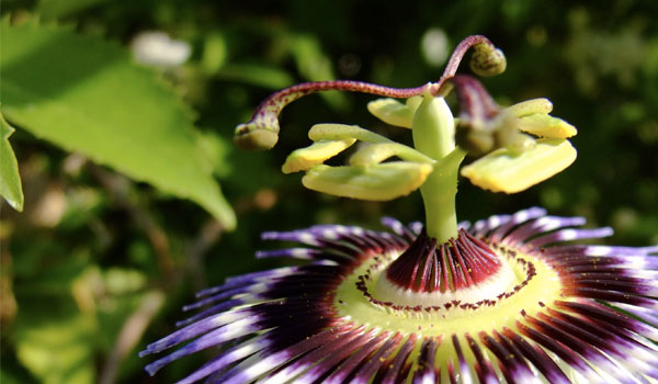Passion flower - Home Remedies for Anxiety