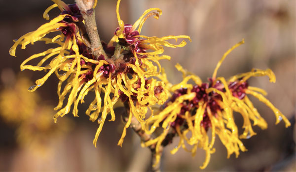 Witch Hazel - Home Remedies for Cold Sores