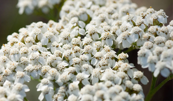 Yarrow - Home Remedies for Cellulitis
