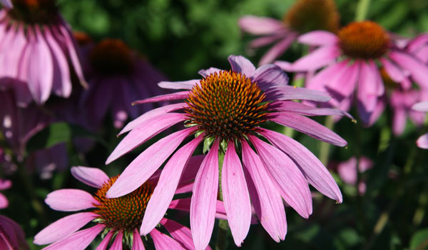 Echinacea - Home Remedies for Bacterial Vaginosis