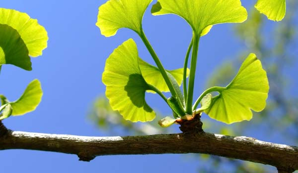 Gingko Biloba - Home Remedies for Impotence