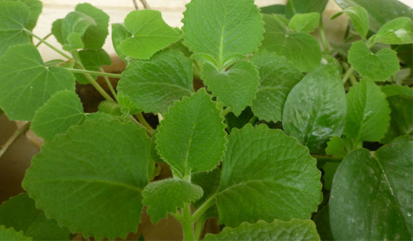 Ajwain Leaves - Home Remedies for COPD