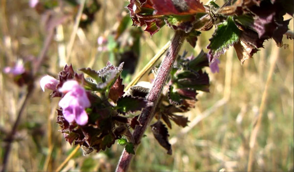 Black Horehound - How to Get Rid of Motion Sickness