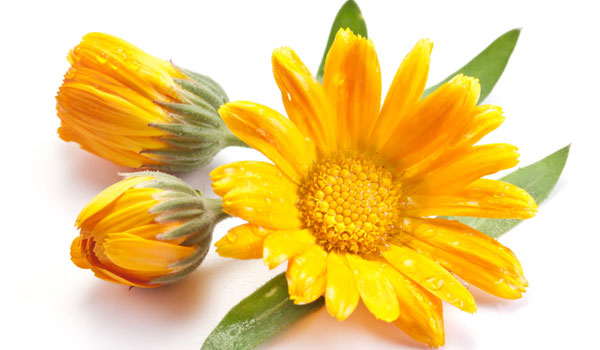 Calendula - Home Remedies for Chickenpox