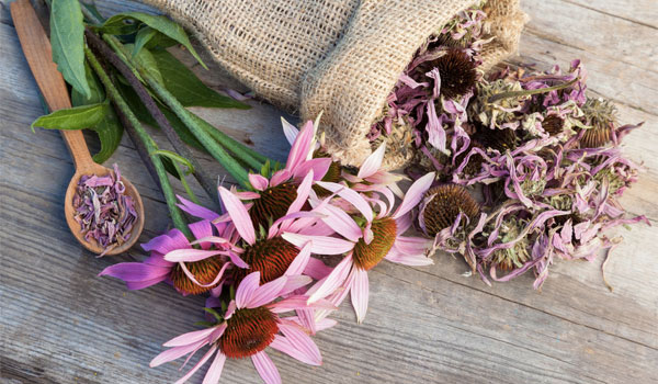 Echinacea - Home Remedies for Swollen Glands