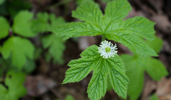 Goldenseal - Home Remedies for Bed Sores