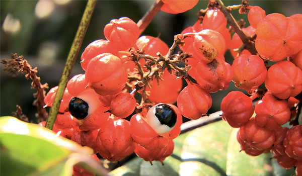 Guarana - How to Reduce Breast Size Naturally