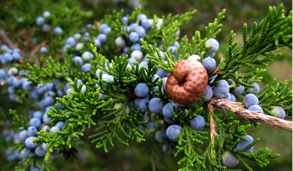Juniper Berries - How to Get Rid of Yellow Nails
