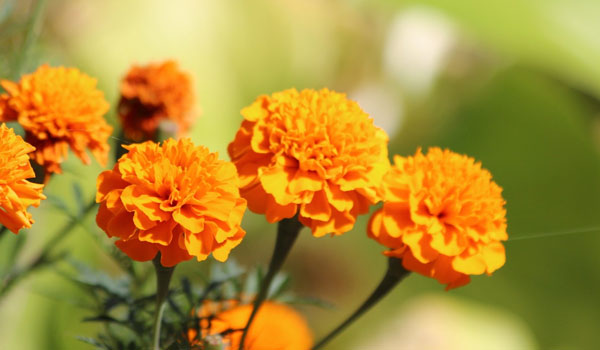 Marigold - Home Remedies for Gastritis