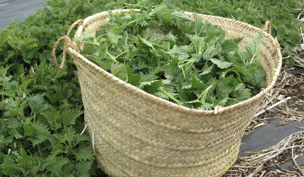 Nettle - How to Increase Hemoglobin Level