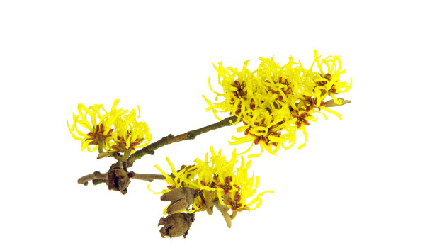 Witch Hazel - Home Remedies for Red Eyes