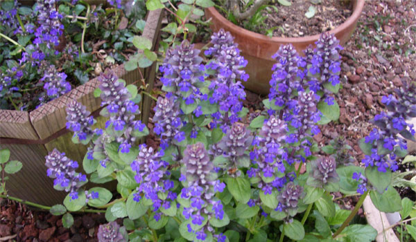 Bugleweed - Home Remedies for Hyperthyroidism