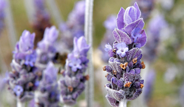 Lavender - Lavender Oil - The Oil of Health Benefits