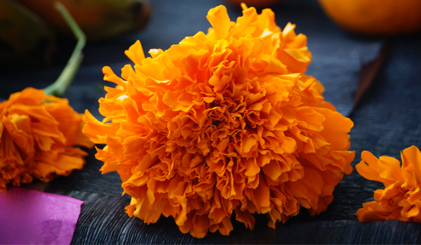Marigold - How To Get Rid Of Fruit Flies