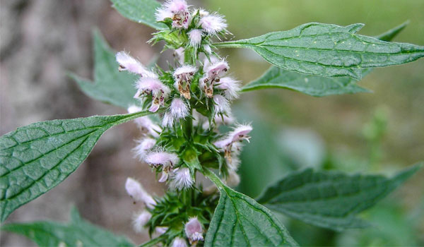 Motherwort - Home Remedies for Hyperthyroidism