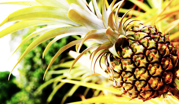 Pineapple - Home Remedies for Gerd