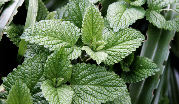 Potential cure for cancer - What Make Mint Leaves A Superfood?