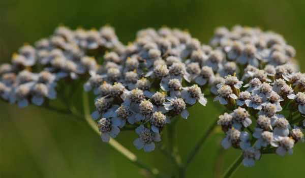 Yarrow - How to Stop Internal Bleeding