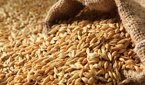 Barley - Home Remedies for Jaundice
