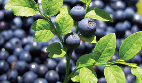 Bilberry - Home Remedies for Cataracts
