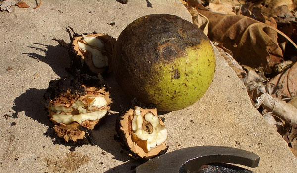 Black Walnut - Home Remedies for Yeast Infection