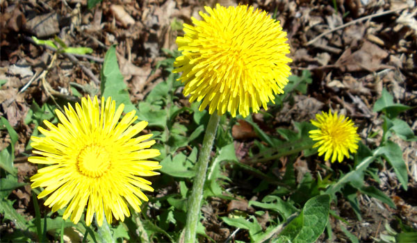 Dandelion - Home Remedies for Water Retention