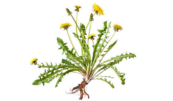 Dandelion Root - Home Remedies for Alcoholism