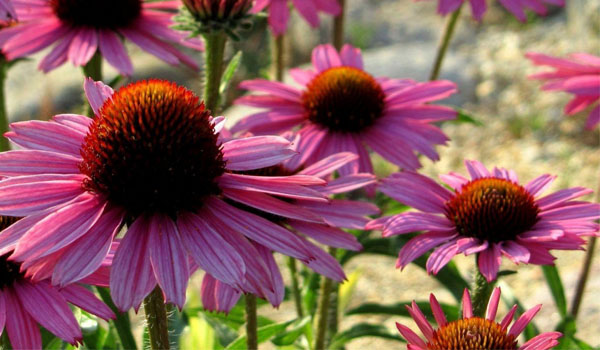 Echinacea - Home Remedies for Impetigo