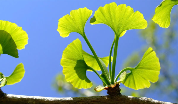Ginkgo Biloba - Home Remedies for Bipolar Disorder