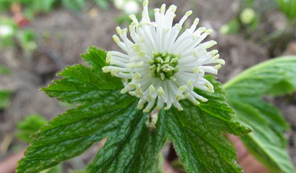Goldenseal - Home Remedies for Impetigo
