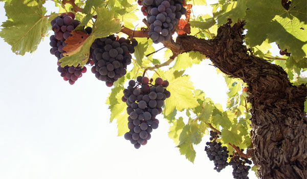 Grapes balance cholesterol levels - Health Benefits of Grapes