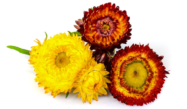 Helichrysum Oil - Home Remedies for Varicose Veins