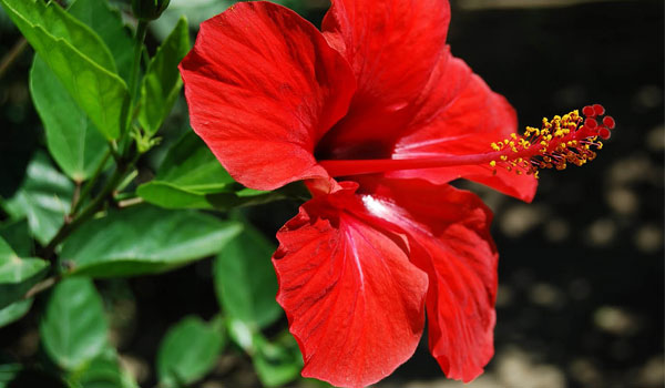 Hibiscus - Home Remedies for Premature Graying of Hair