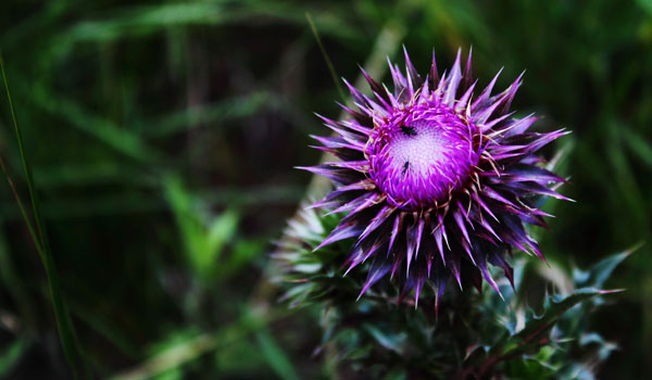Milk Thistle - Home Remedies for Cirrhosis of the Liver