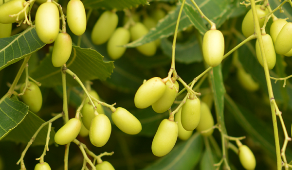 Neem - Home Remedies for Chlamydia