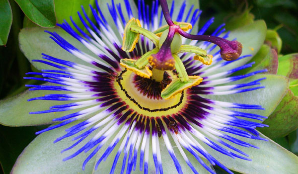 Passion Flower - How To Handle Anxiety