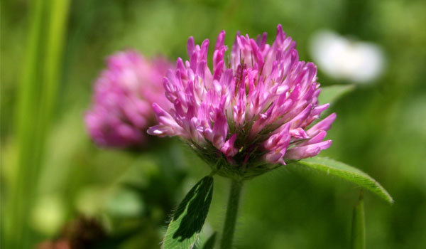 Red Clover - Home Remedies for Breast Enlargement