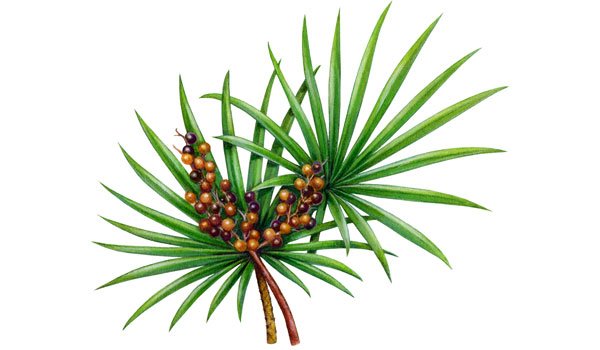 Saw Palmetto - Home Remedies for Polycystic Ovary Syndrome (PCOS)