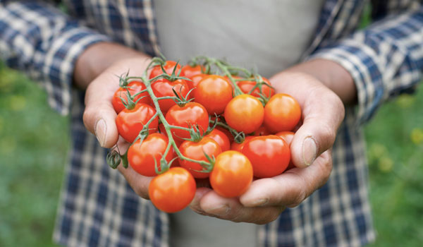 Tomatoes balance cholesterol levels - Health Benefits of Tomatoes