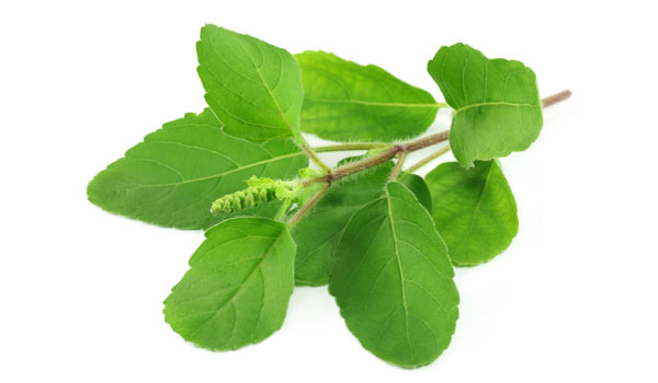 Tulsi - Home Remedies for Postnasal Drip