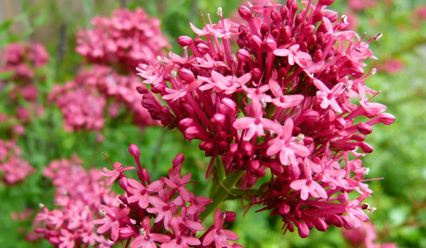 Valerian - Home Remedies for Dry Socket